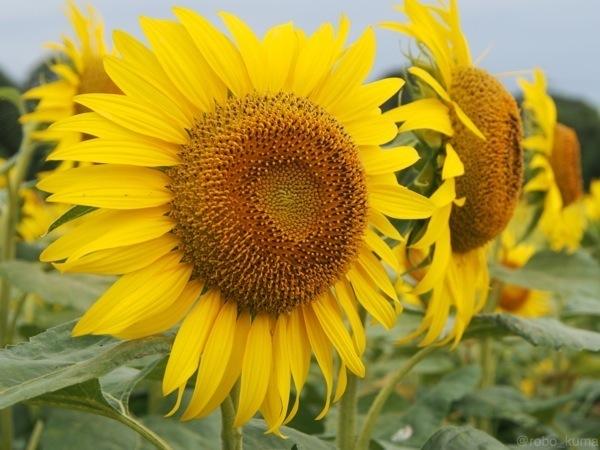 8月の向日葵畑