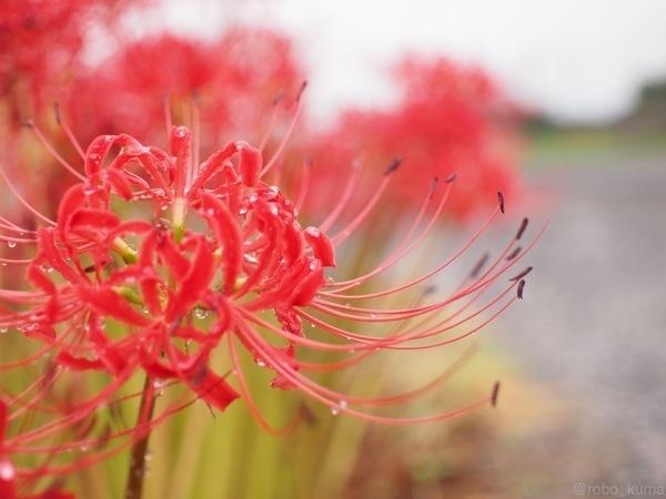 秋雨の彼岸花