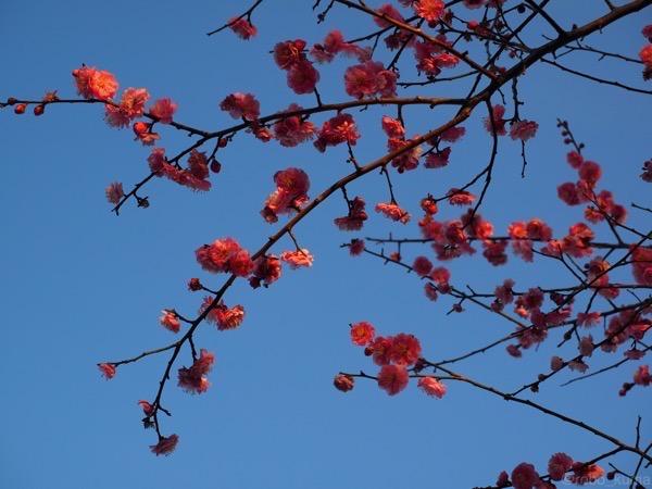 梅の花の香り。