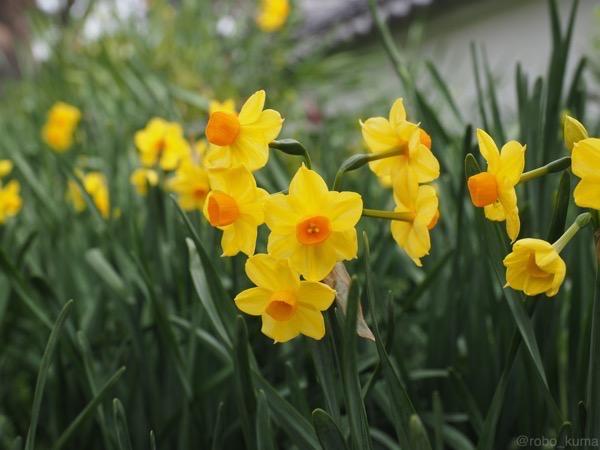 黄色い水仙さん。