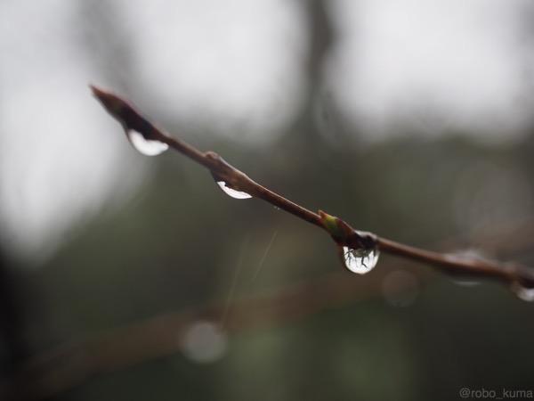 雨のつぼみ。