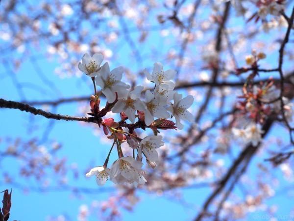 桜が咲きました(੭ु ˃̶͈̀ ω ˂̶͈́)੭ु⁾⁾、そして三日月の夕焼け。