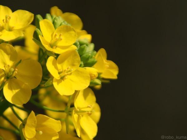 菜の花の匂いと花粉症。