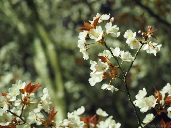 朧月夜桜。