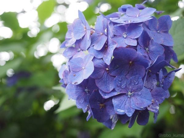 7月の紫陽花。