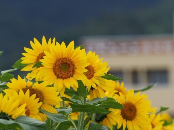 黄色い丘を求めて。あ、向日葵です。