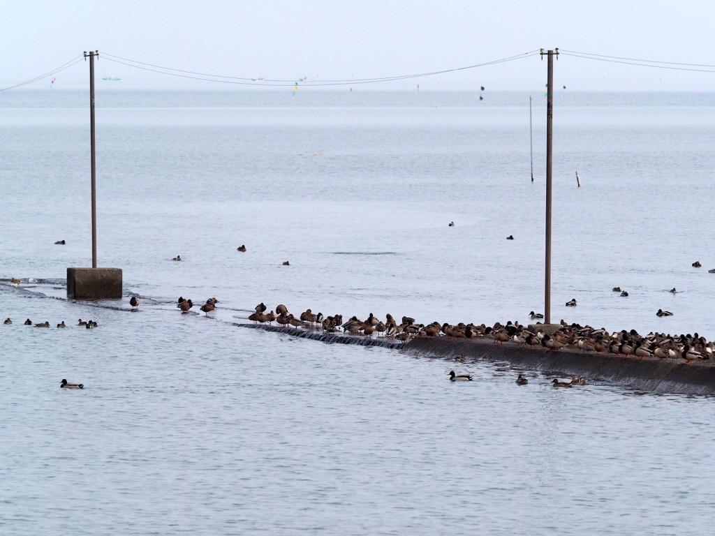 またまた冬の海へ、カモさん達。
