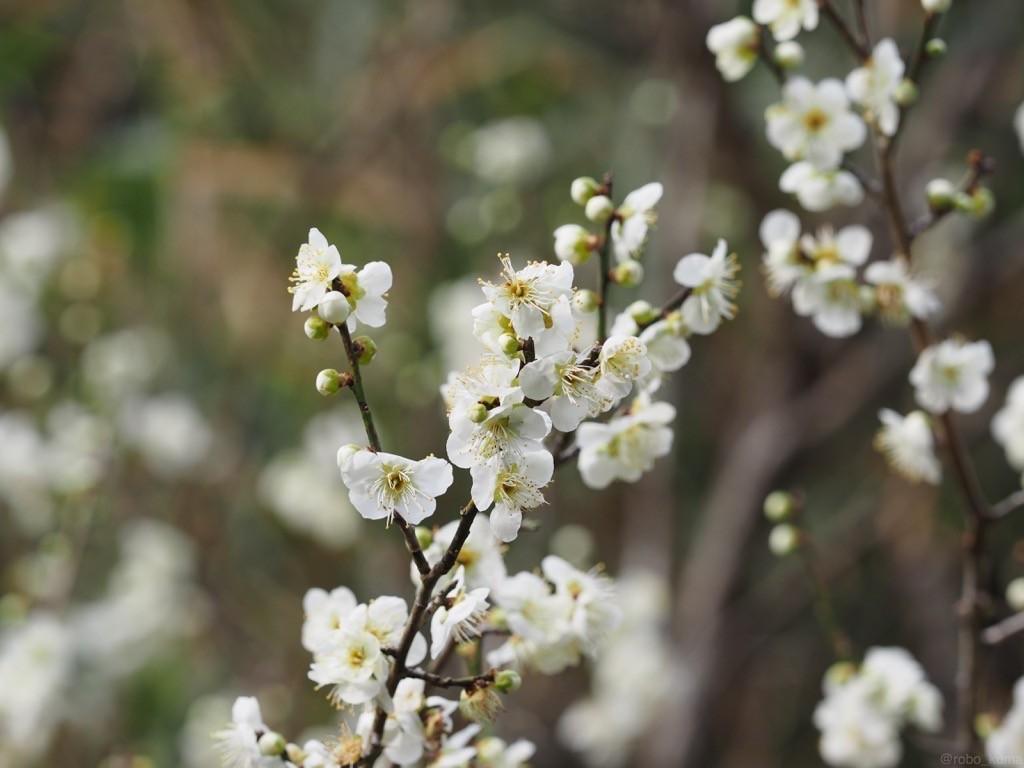 白い梅の花。