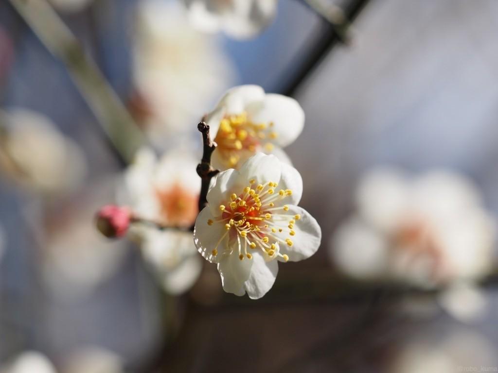 青空に白い梅の花。