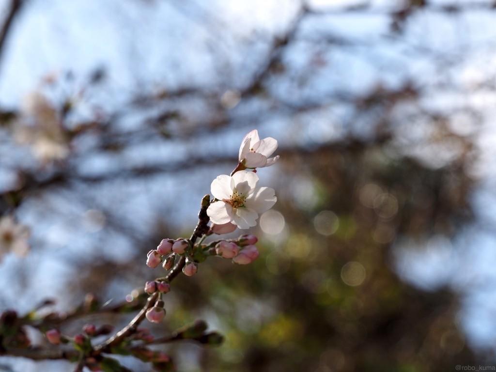 ソメイヨシノさんが開花です(*`・ω・)ゞ