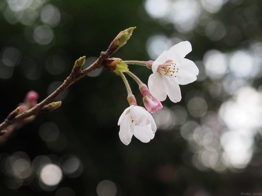 今日の桜。三分咲き。