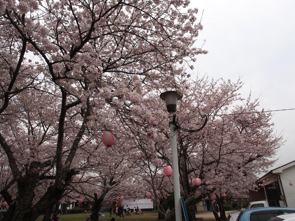 桜が満開、桜祭り。