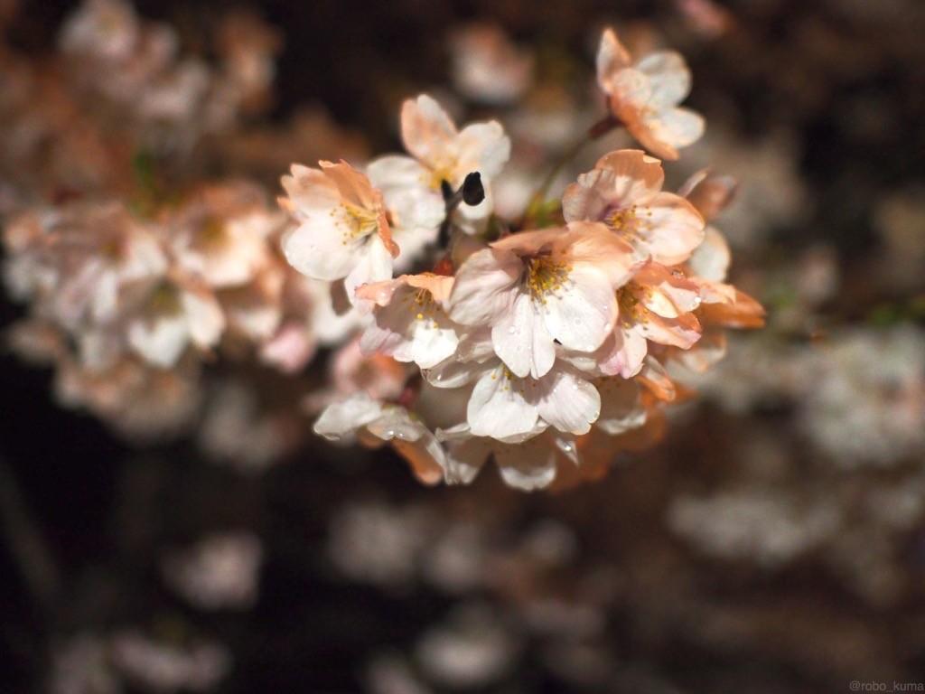 桜満開は雨。夜桜。