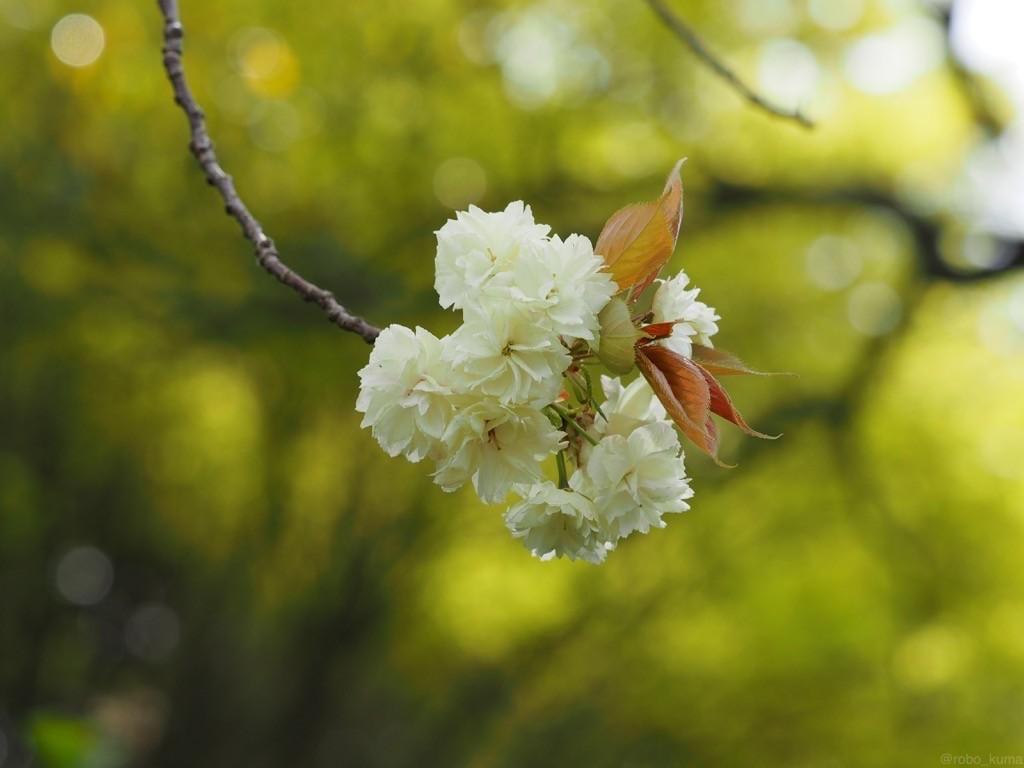 白い八重桜。