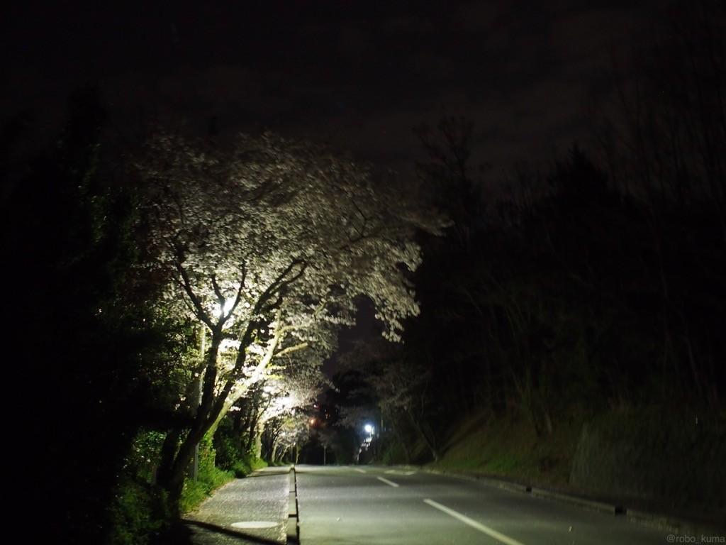 夜桜さんぽ。