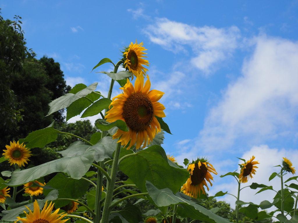 【写真】おい!これ、もう夏だろう!! 青空に向日葵。