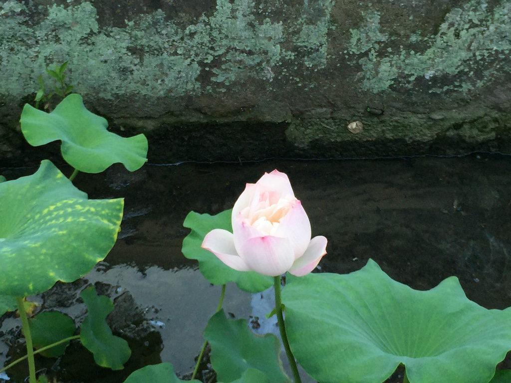 【写真】お寺の堀の蓮の花。