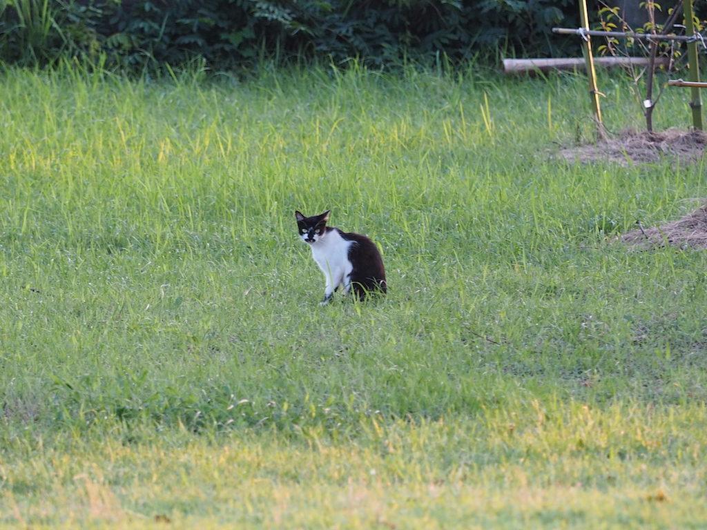 【写真】夕暮れネコさん。