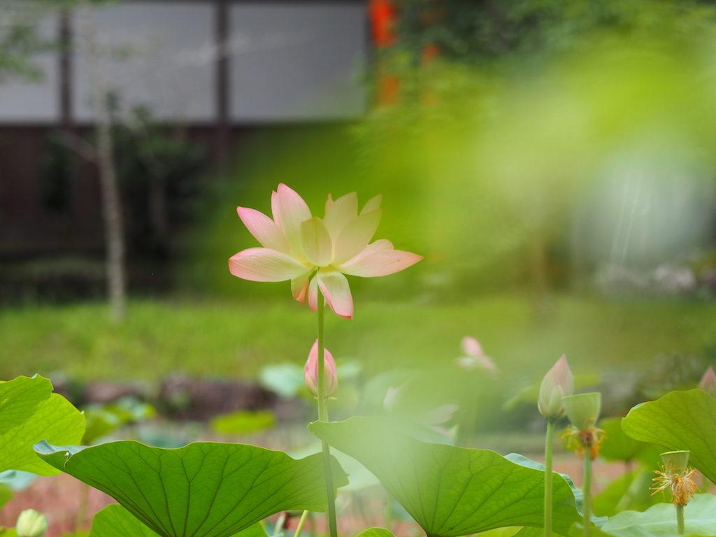 【写真】蓮の花、見頃です。 #大分県宇佐市 #宇佐神宮