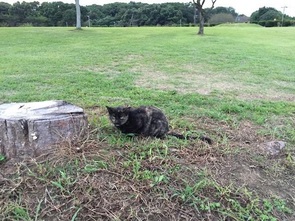 【ねこ】 今日の野良猫さん。サビネコさん。