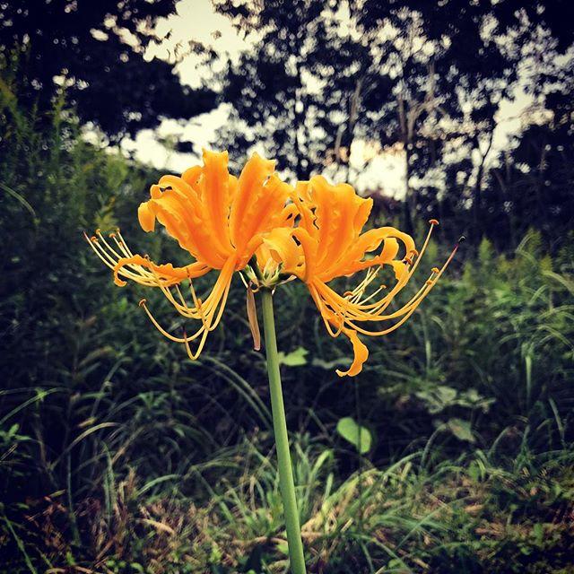 黄色い彼岸花。ミドリに映えます! #彼岸花