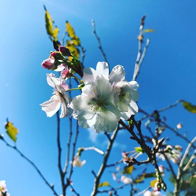 十月桜。秋雨上がりの晴天に咲く。秋に桜とは何だかウキウキです。 #十月桜