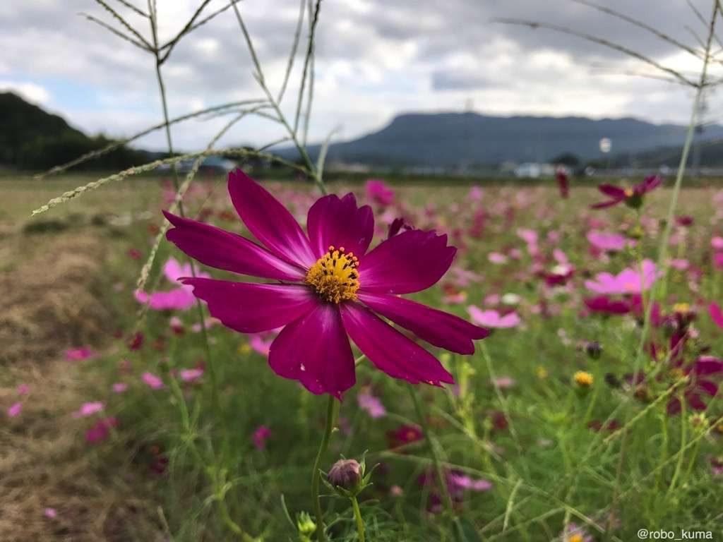 【写真】コスモスの花咲く季節。iPhone 7 Plus で撮影。