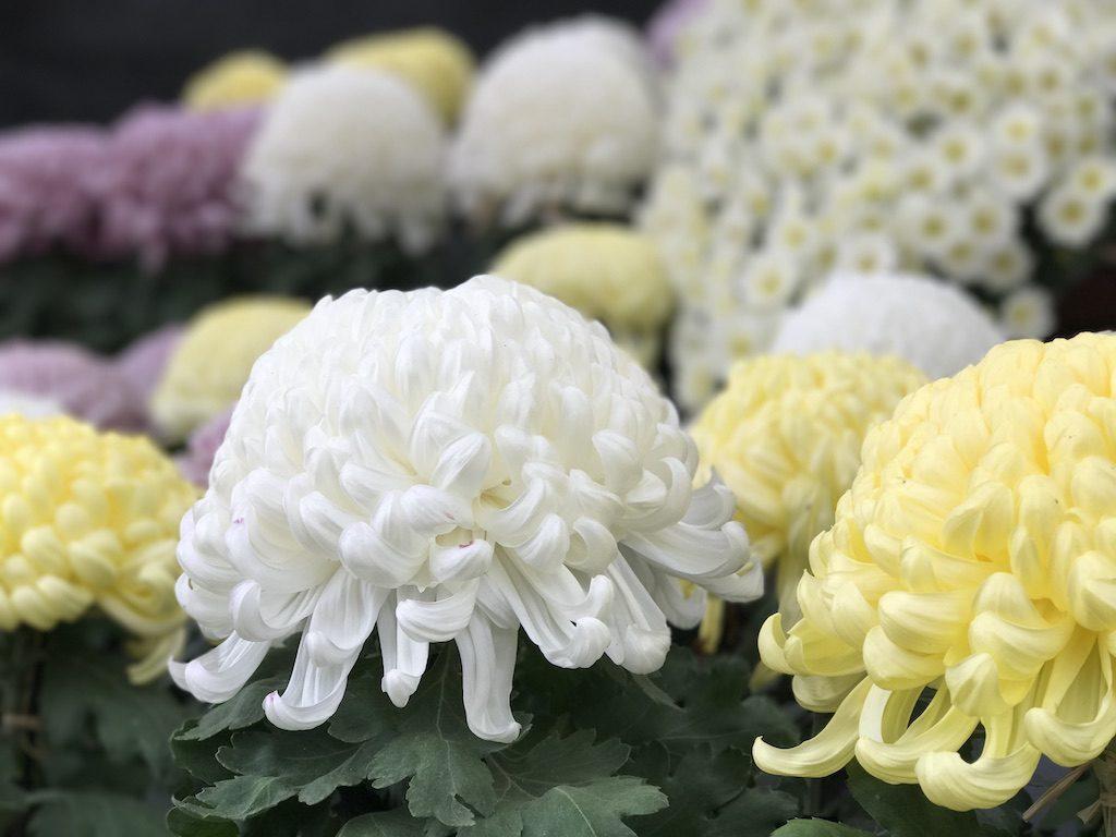 【iPhone 7 Plus】 「菊花展」をポートレートカメラ機能で撮影。