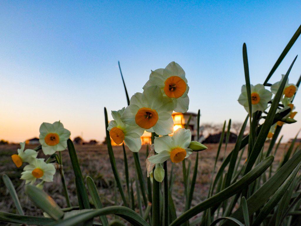 【写真】 冬と春の間。水仙の季節です。