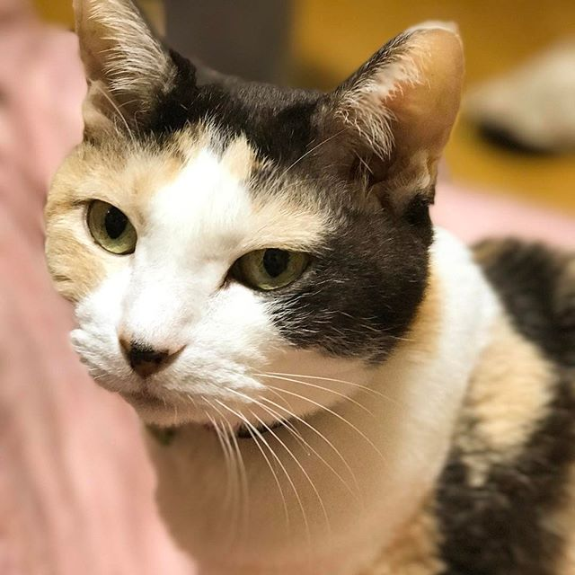 2017年2月22日は猫の日Σ(ΦωΦ)カッ。今年で17歳の三毛猫さんも元気です! #猫の日