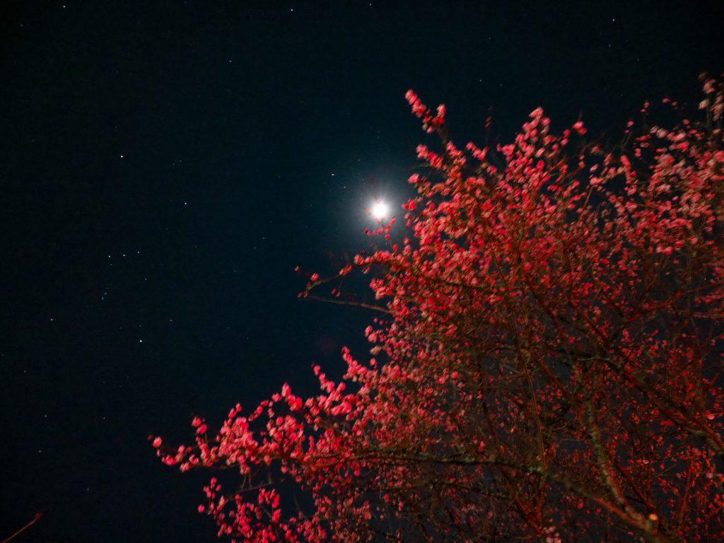 お月様と梅の花。