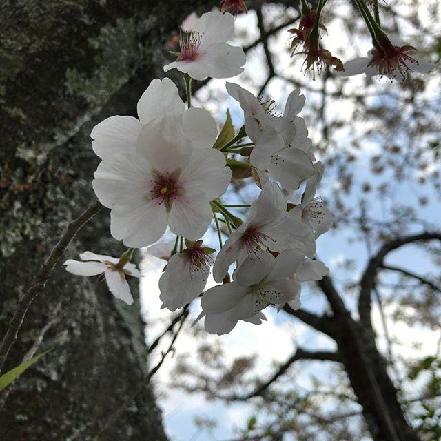 桜吹雪が気持ちいい。