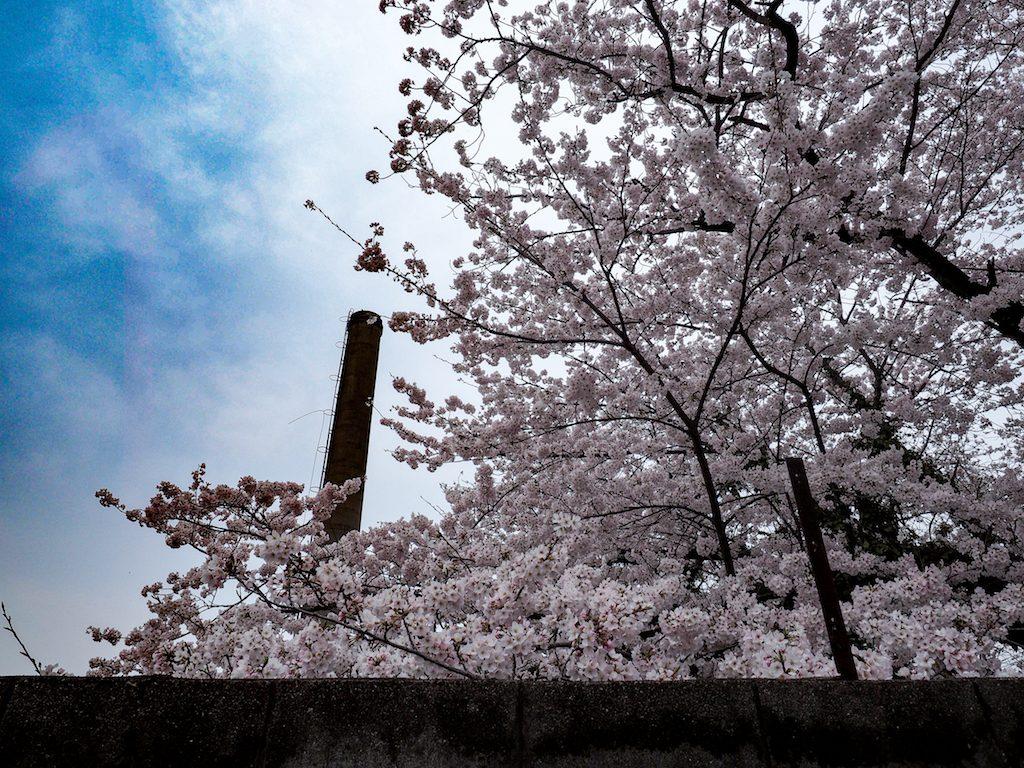 【写真】 今年の桜は遅咲きで余裕・・・と思ったら天気が悪い(´・_・`)。