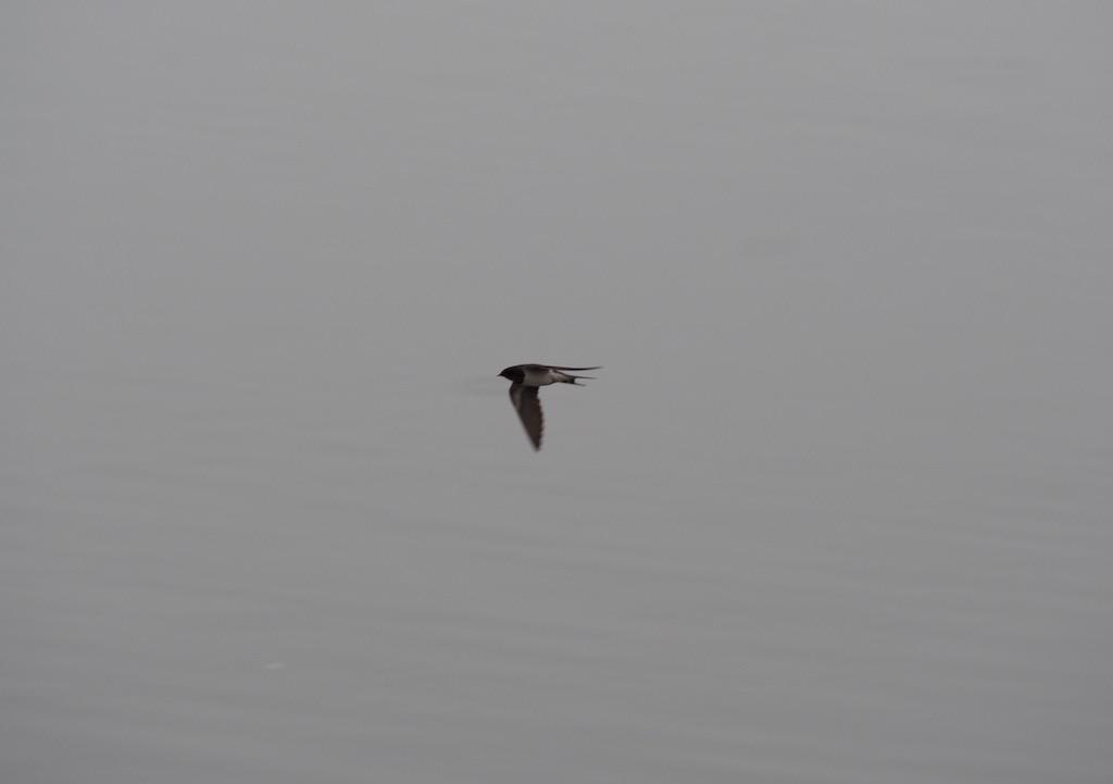 ツバメさん、高速飛行。