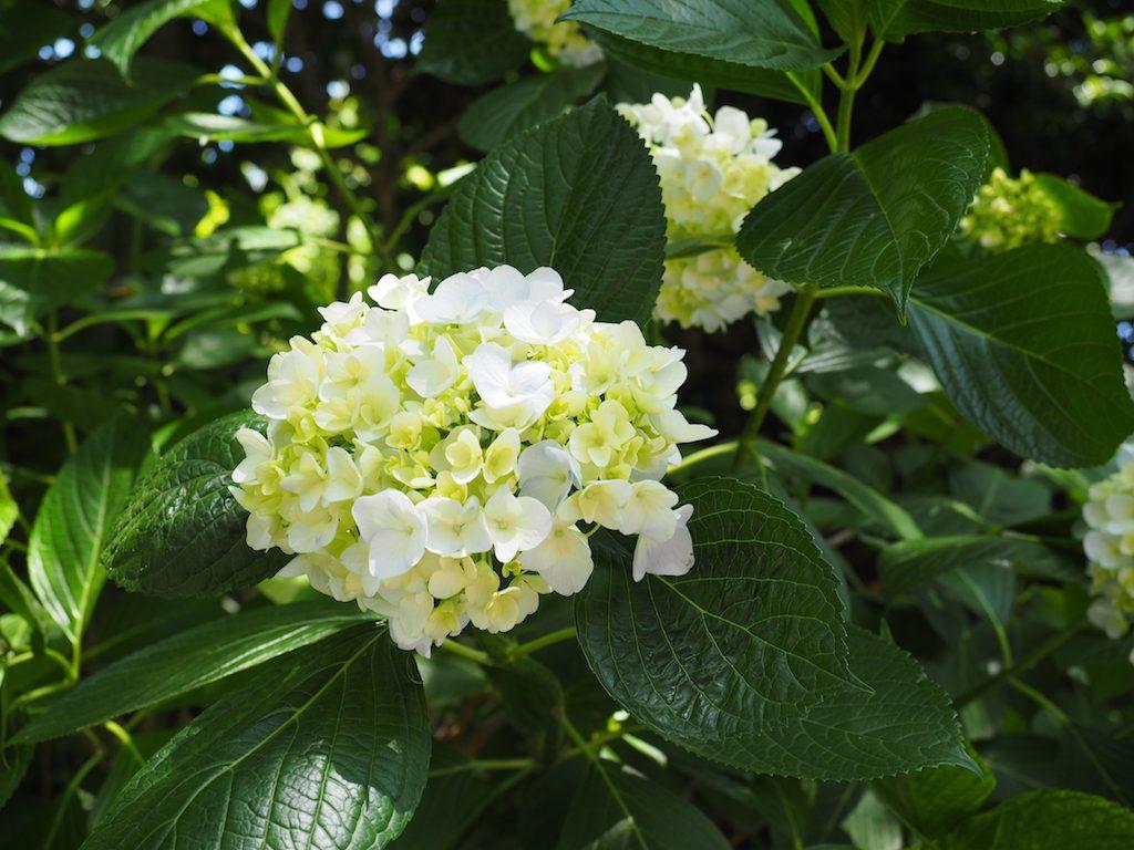 今年も紫陽花の季節です(*`・ω・)ゞ。