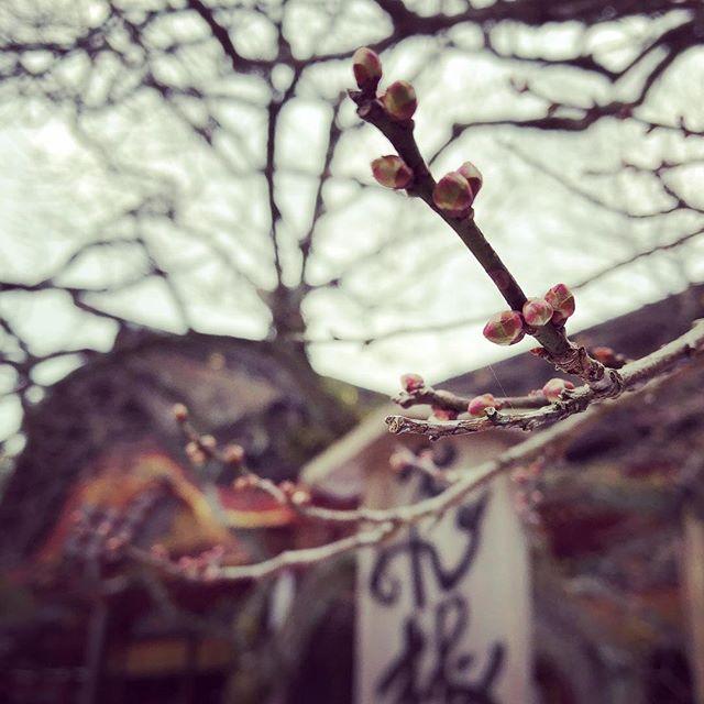 つぼみの飛び梅。年末の太宰府天満宮。