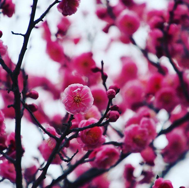 梅の花が満開です。