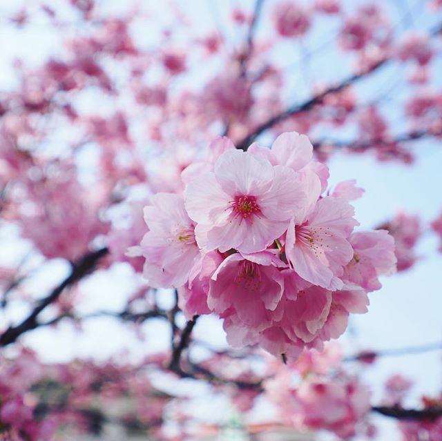 満開の河津桜。