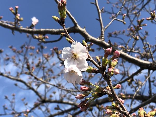 春が来た。桜が咲きました。