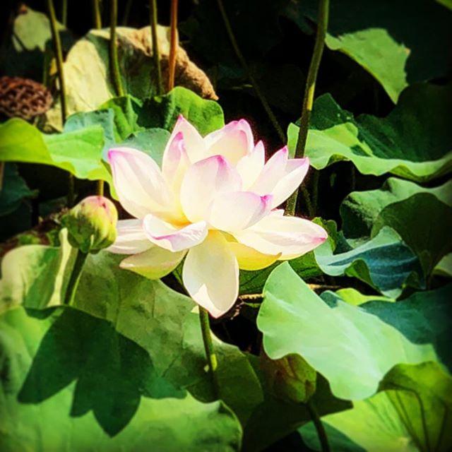 暑い日々に負けずに、蓮の花が美しい!