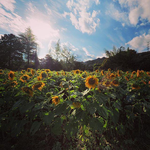 秋の向日葵畑。こんなに咲いてて、ちょっとビックリした。 撮影は「OLYMPUS OM-D E-M1 + M.ZUIKO DIGITAL ED 7-14mm F2.8 PRO」です。