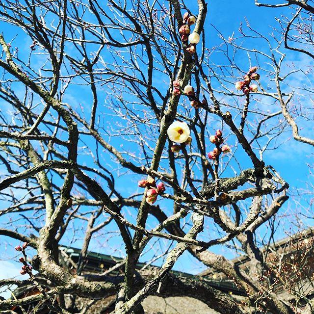 太宰府天満宮。飛び梅。今年は開花が早いです。