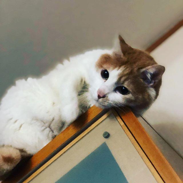 家の中で一番高い所が好きなネコさん。(自分では降りれない)