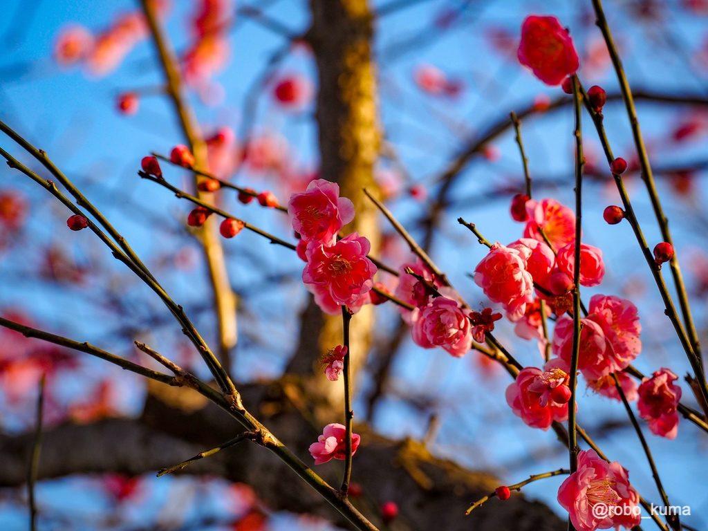 春の陽気。梅の花が咲いています(*`・ω・)ゞ。