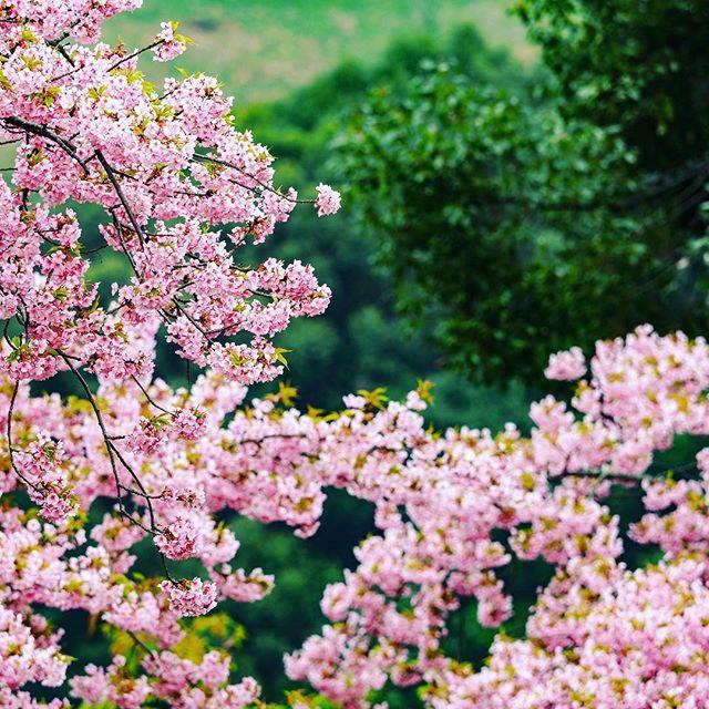 #桜 の日。