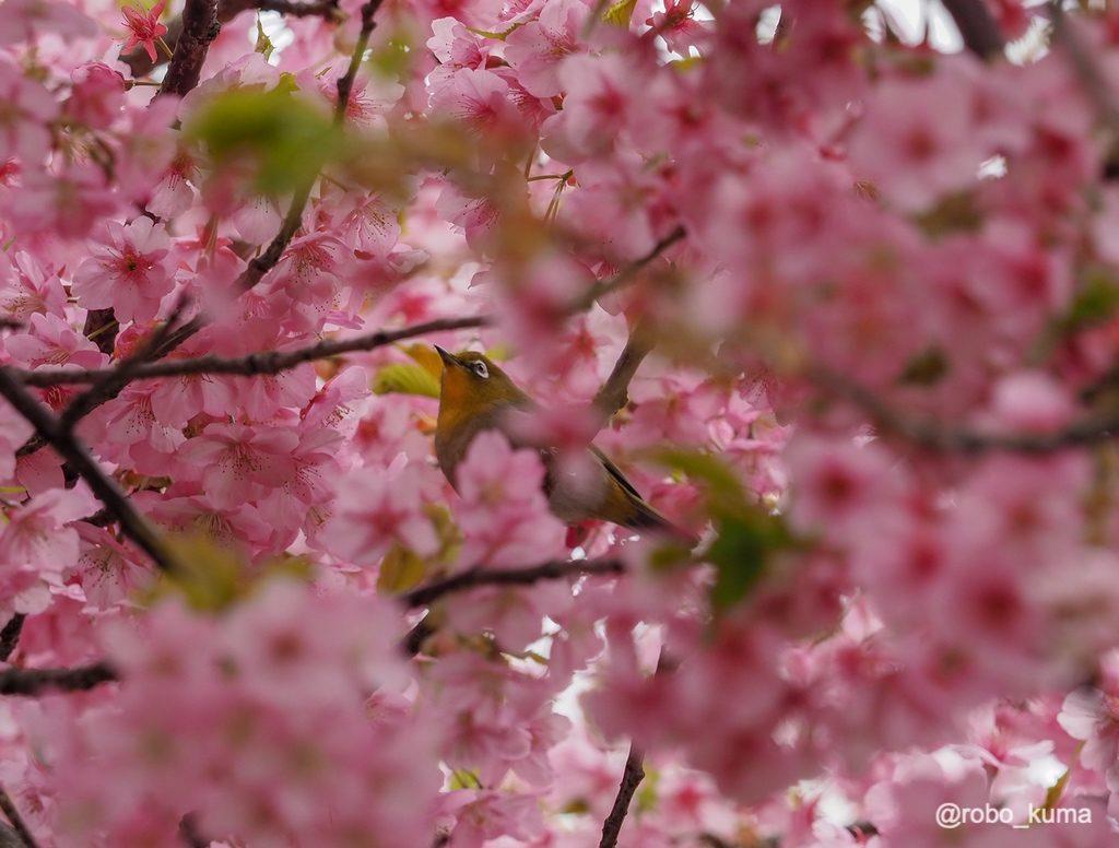 河津桜にメジロさん。
