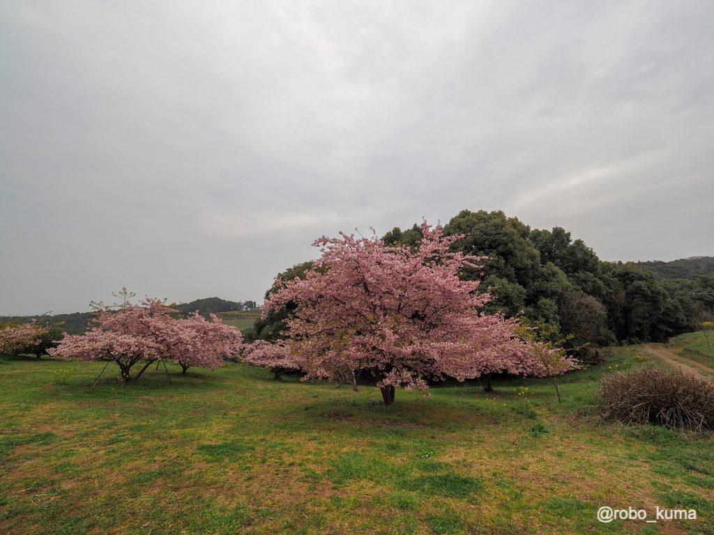 河津桜。福岡県豊前市の果樹園「静豊園」に行ってきました(*`・ω・)ゞ  300本の河津桜が見頃です。