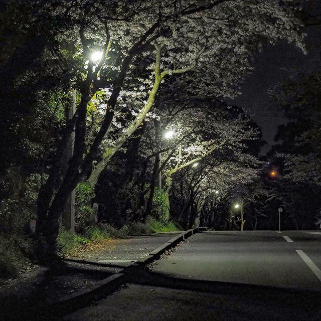 夜桜。帰り道。