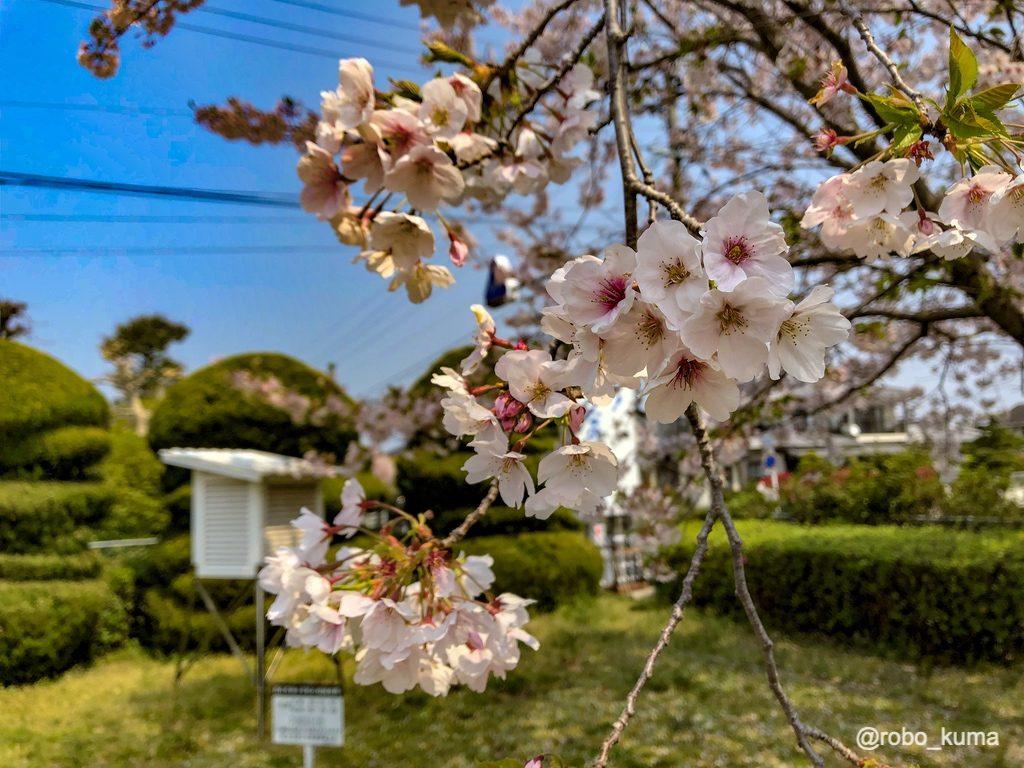 今年も桜が見納め。