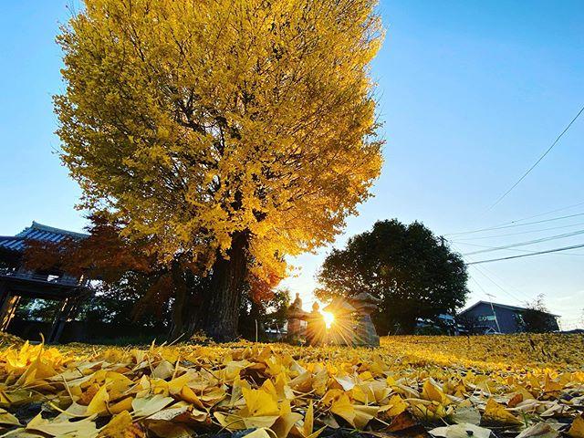 黄色の絨毯と夕日。(iPhone 11 Pro Max 超広角 & Smart Battery Case)